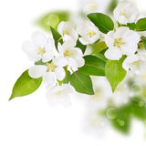 Fresh spring white flowers. With green leafs on branch Royalty Free Stock Photos