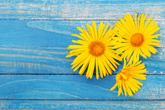 Fresh spring yellow daisy flower on blue painted wooden planks. Royalty Free Stock Photography