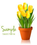 Fresh spring yellow flowers Stock Image
