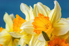 Fresh spring yellow narcissus flowers on blue background. Selective focus. Natural blooming background Royalty Free Stock Photography