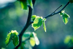 Fresh spring, young leaves in forest - beautiful nature in spring. Fresh spring leaves, young spring leaves lit by sun rays - beautiful nature in spring Stock Images