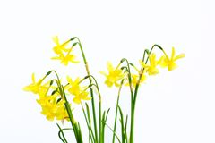Fresh Springtime daffodils Royalty Free Stock Photos