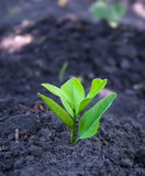 Fresh sprout. A green sprout is in earth Royalty Free Stock Image