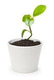 Fresh sprout. Seedlings in flower pot isolated on white background Stock Images
