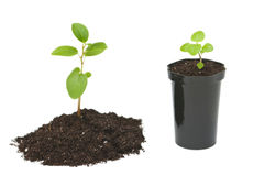 Fresh sprout. Fresh sprout and seedlings in flower pot isolated on white background Royalty Free Stock Image