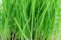 Fresh sprouted wheat grass with water drops closeup Stock Photos