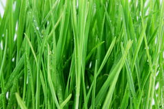 Fresh sprouted wheat grass with water drops closeup Stock Images