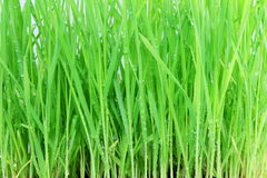 Fresh sprouted wheat grass with water drops closeup Royalty Free Stock Photos