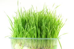Fresh sprouted wheat grass with water drops in white background Royalty Free Stock Images