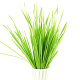 Fresh sprouted wheat grass with water drops in white background Royalty Free Stock Photo