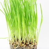 Fresh sprouted wheat grass with water drops in white background Royalty Free Stock Photos