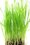 Fresh sprouted wheat grass with water drops in white background Stock Photo