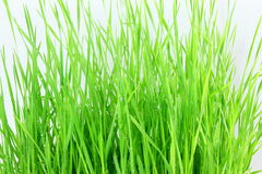 Fresh sprouted wheat grass with water drops in white background. For food health garden diet nutrition life style related work Royalty Free Stock Images