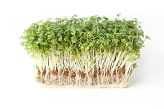 Fresh Sprouts. With roots on white background Stock Images