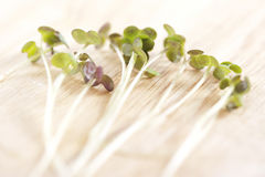 Fresh sprouts Royalty Free Stock Image