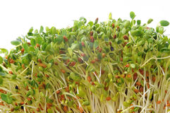 Fresh sprouts. Fresh clover, radish and alfalfa sprouts Stock Images