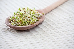 Fresh sprouts Stock Image
