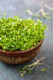 Fresh sprouts of Arugula Stock Images