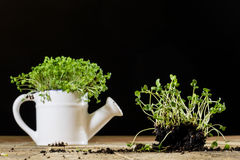 Fresh sprouts Cress. Black ground. Wooden table. Flowerpot in th royalty free stock photo