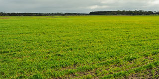 Fresh sprouts on farmland. Rows of fresh green sprouts on farmland, cloudy sky. sheepd and trees in background in Victoria, Australia Royalty Free Stock Photos