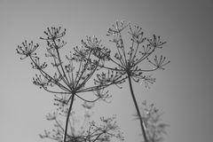 Umbrella sprout of dill. Black and white photo Stock Photo