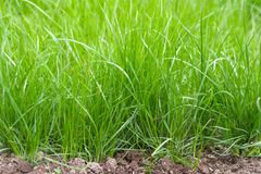Fresh sprouts of grass Stock Image