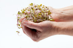 Fresh sprouts Royalty Free Stock Photography