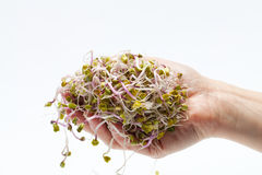 Fresh sprouts. The healthy diet. Fresh sprouts isolated on white background Royalty Free Stock Images