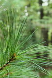 Fresh spruce. A spruce tree of some sort up close and personal Royalty Free Stock Images