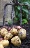 Fresh Spuds. A first harvest of organically grown new potatoes, freshly dug from the ground lying on top of the soil, with a arden fork in the background royalty free stock photography