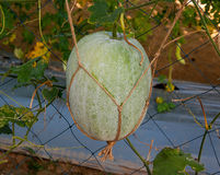 Fresh squash in garden Stock Photo