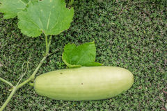 Fresh squash. From the garden ready to eat Royalty Free Stock Photo