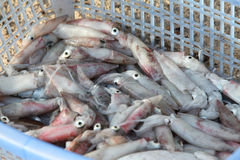 Fresh squid in the basket Royalty Free Stock Image