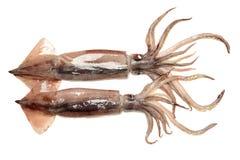 Fresh squid (calamare) Stock Photos