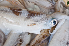 Fresh squid on ice Stock Image
