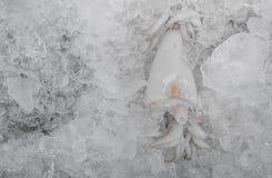 Fresh squid on iced Stock Image