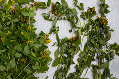 Fresh St. John`s wort for drying, Medical herb on a neutral gray stock photography