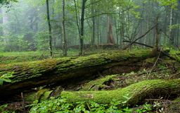 Fresh stand of Bialowieza Forest in summer Stock Images