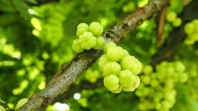 Fresh star gooseberry on tree Royalty Free Stock Photography