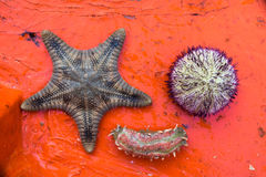 Fresh Starfish, Sea urchin, Sea worm Stock Photography