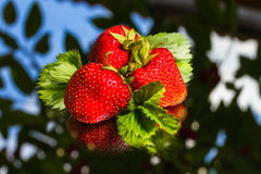Fresh stawberry Stock Images