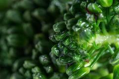 Fresh steamed broccolini Royalty Free Stock Photography