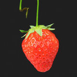 Fresh Stemmed Strawberry. Stemmed Ripe Strawberry with black background royalty free stock image