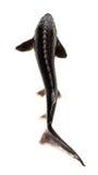 Fresh sterlet fish Stock Photo