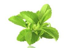 Fresh Stevia  herb closeup Royalty Free Stock Photography