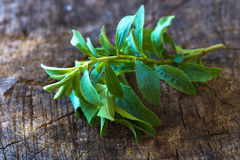 Fresh stevia leaves Royalty Free Stock Images
