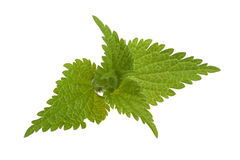 Fresh stinging nettle Stock Photography