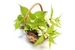 Fresh stinging nettles in wicker basket Royalty Free Stock Images
