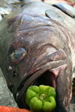 Fresh Stone Bass Fish. With a pepper in the mouth Royalty Free Stock Photo