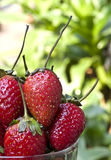Fresh strawberries. Close up of fresh strawberries Royalty Free Stock Photography